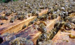 pszczoly2_0