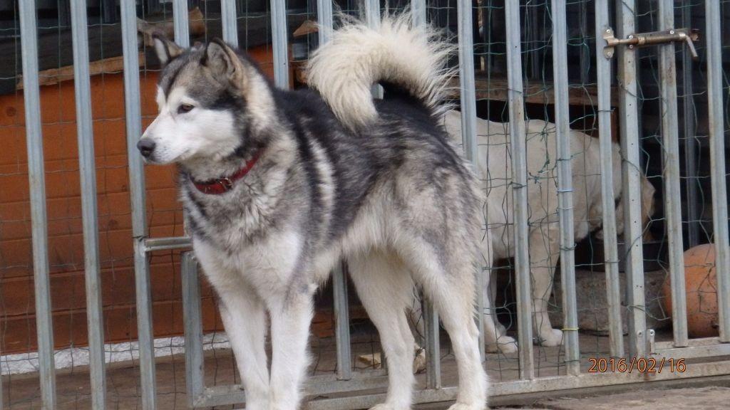 husky02