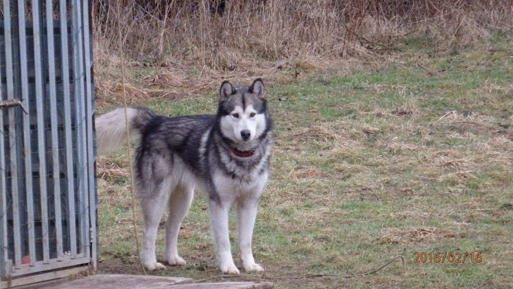 husky03